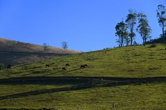 Скотины пася на холме стоковые фото
