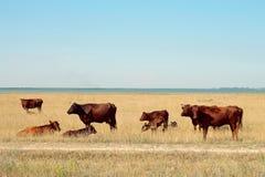 скотины пася озеро ближайше Стоковые Фотографии RF