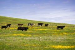 Скотины пася среди wildflowers весны, юга San Francisco Bay, Калифорния стоковая фотография