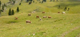 Скотины, поголовье пася на выгоне в горах Стоковое Изображение