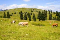 Скотины, поголовье пася на выгоне в горах Стоковое фото RF