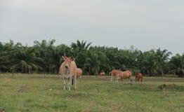 Скотины подавая ранчо Стоковая Фотография RF
