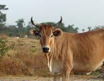 Скотины, Сенегал Стоковое Фото