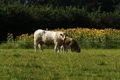Скотины & солнцецветы Charolais Стоковые Изображения