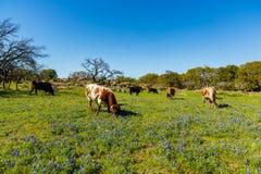 Скотины Техаса пася Стоковое Изображение