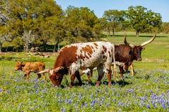 Скотины Техаса пася Стоковая Фотография