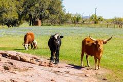 Скотины Техаса пася Стоковое фото RF