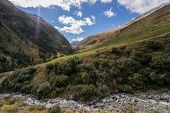 Скотины Тироля серые или Tyrolean серые высокогорные, коровы молока на выгоне Стоковое Изображение RF