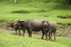 Скотины фермы на злаковике Стоковое Фото