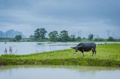 Скотины фермы на злаковике Стоковые Фотографии RF