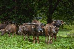 Скотины фермы на злаковике Стоковое Изображение RF