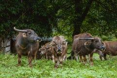 Скотины фермы на злаковике Стоковое Изображение
