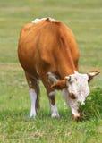скотины стоковое фото rf