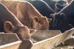 скотины стоковое изображение