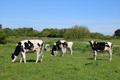 Скотины Friesian пася в зеленом поле, солнечном дне Стоковые Изображения