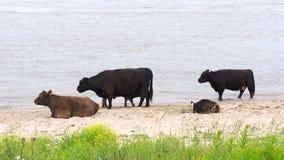 Скотины Galloway, порода мясного скота Стоковые Фотографии RF