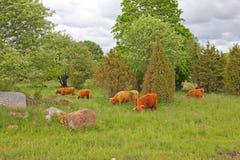 Скотины Hereford в природе Стоковая Фотография RF