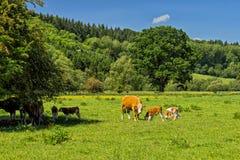 Скотины Hereford, Herefordshire, Англия Стоковое Изображение