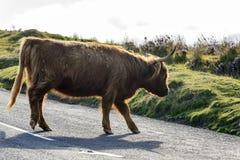Скотины Higland на дороге, Dartmoor Стоковое фото RF