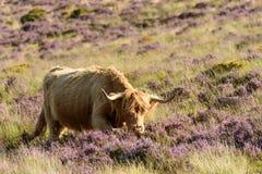 Скотины Higland среди вереска, Dartmoor Стоковая Фотография RF