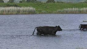 Скотины wading в бассейне видеоматериал