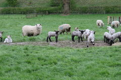 Скотный двор Йоркшир стоковое фото rf
