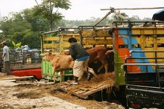 Скотный рынок Стоковые Изображения RF