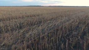 Скошенное поле солнцецвета сток-видео
