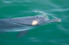 Скользя дельфин Стоковые Изображения RF