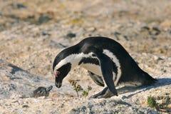 скрепленный пингвин Стоковое фото RF