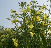 Скрепленный болтами брокколи в цветени Стоковая Фотография