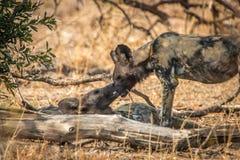Скреплять 2 африканский диких собак Стоковое Изображение RF