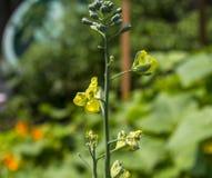 Скрепляя болтами цветок брокколи Стоковое фото RF