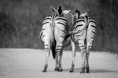 Скрепляя зебра 2 Стоковые Фото