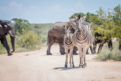 2 скрепляя зебры перед слонами Стоковое фото RF