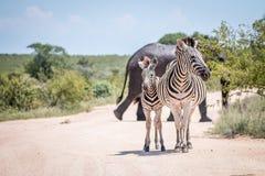 2 скрепляя зебры перед слонами Стоковые Фото