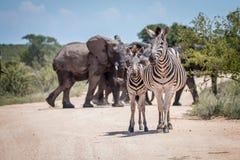 2 скрепляя зебры перед слонами Стоковое Фото