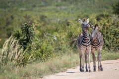 2 скрепляя зебры Стоковое фото RF