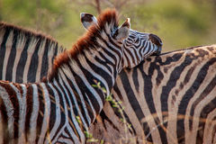 2 скрепляя зебры Стоковая Фотография RF