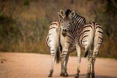 2 скрепляя зебры Стоковые Изображения RF