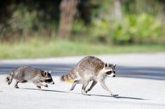 Скрещивание енота Стоковая Фотография RF