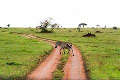 Скрещивание зебры дорога в Serengeti, Танзании Стоковые Изображения