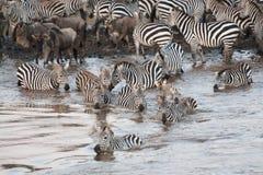 Скрещивание зебры река Mara в Кении, Африке Стоковые Фотографии RF