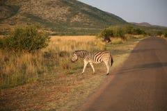 Скрещивание зебры Стоковые Фотографии RF