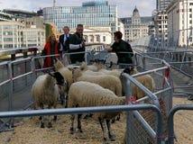 Скрещивание овец моста Лондона стоковые фотографии rf