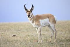 Скручиваемость губы антилопы стоковая фотография