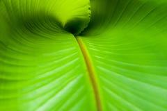 Скручиваемость лист банана Стоковая Фотография