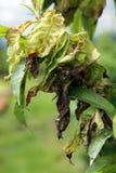 Скручиваемость лист персика - deformans Taphrina стоковая фотография