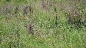 Скрывание дикого африканского леопарда скрываясь от добычи в высокорослой траве саванны сток-видео