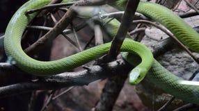 Скрываясь зеленая змейка стоковая фотография rf